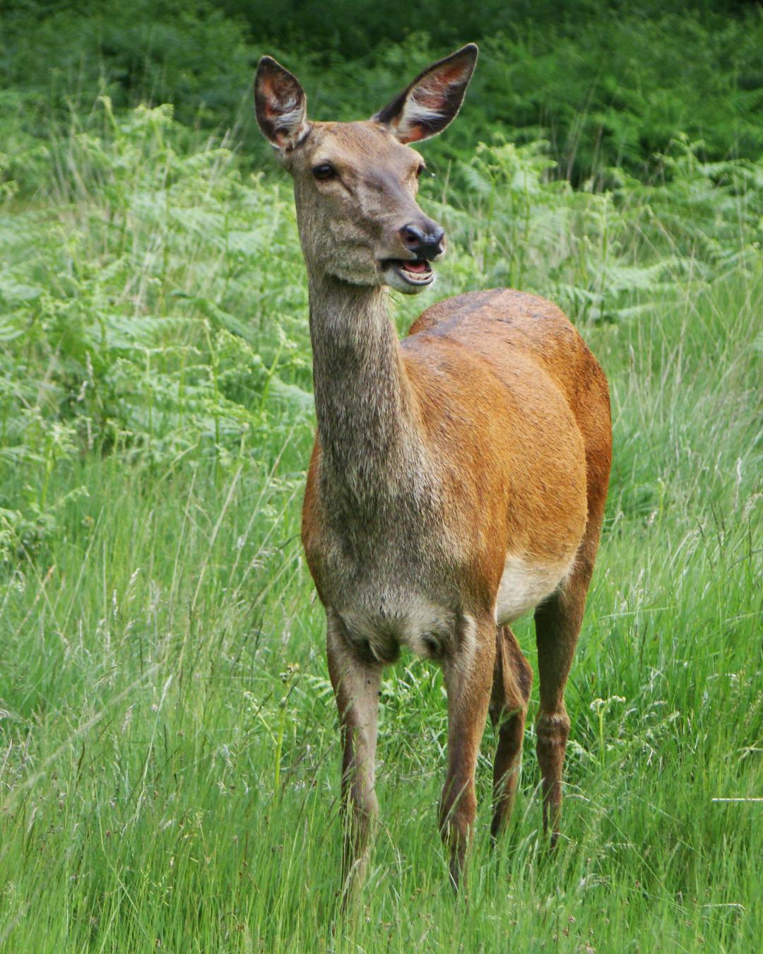 A red deer hind