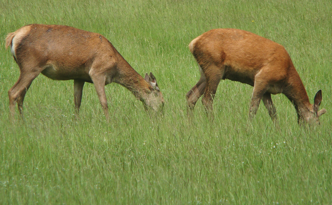 Two red deer hinds