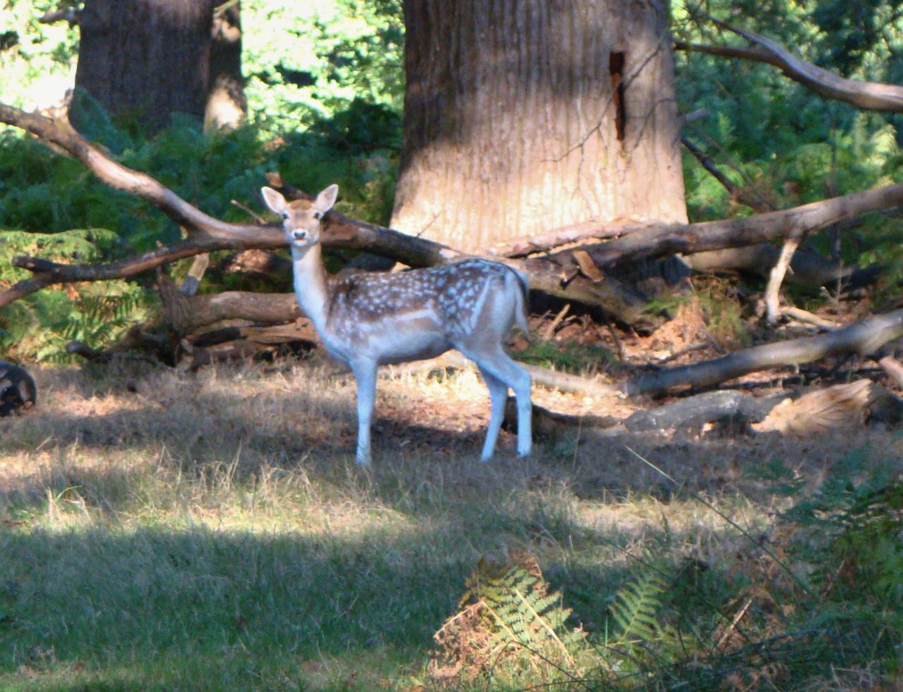 A fallow deer doe