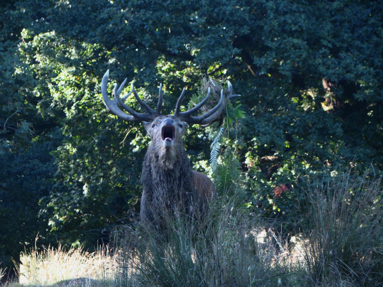 アカシカの雄1頭|ロンドンのリッチモンド・パークにて|2016年10月5日撮影
