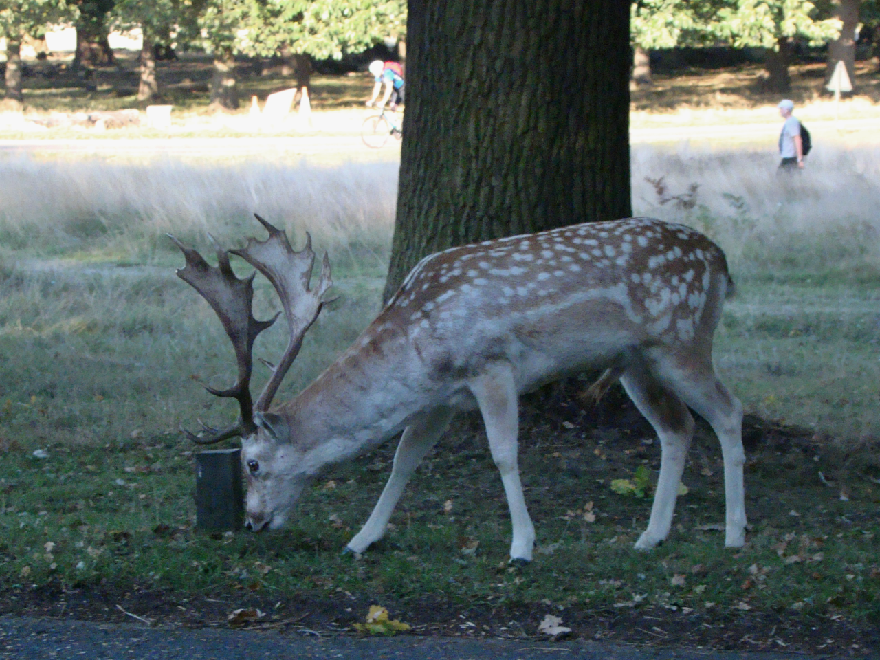 Fallow deer in Richmond Park, photographed on 17 September 2018