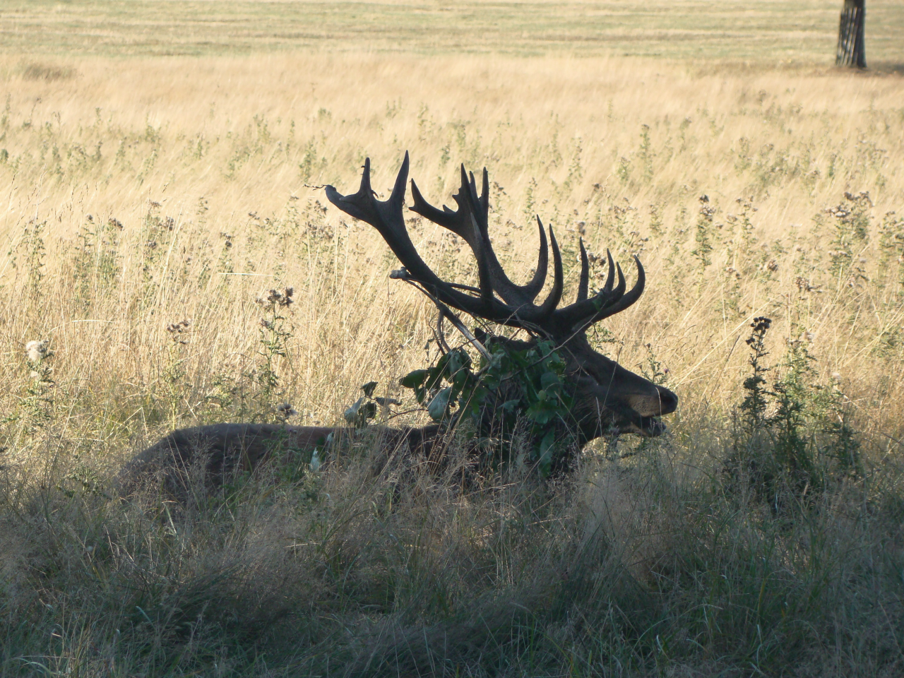 Red deer in Richmond Park, photographed on 17 September 2018