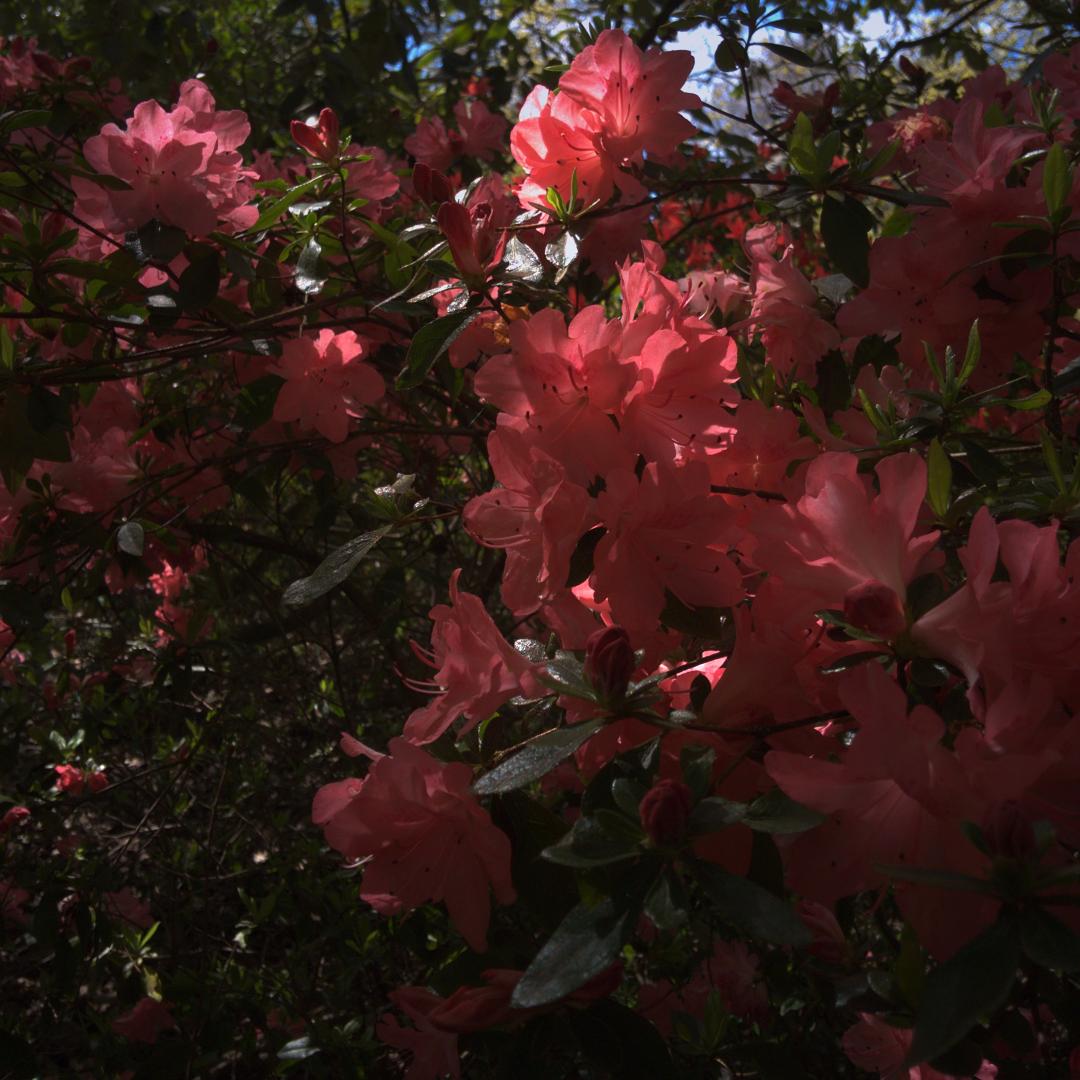 花|ロンドンのリッチモンド・パークにて|2016年5月1日撮影