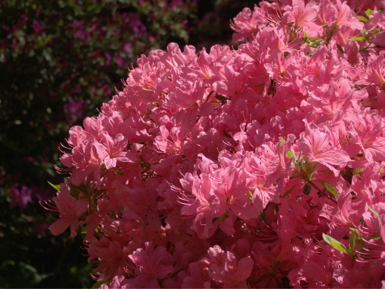 花|ロンドンのリッチモンド・パークにて|2018年5月5日撮影