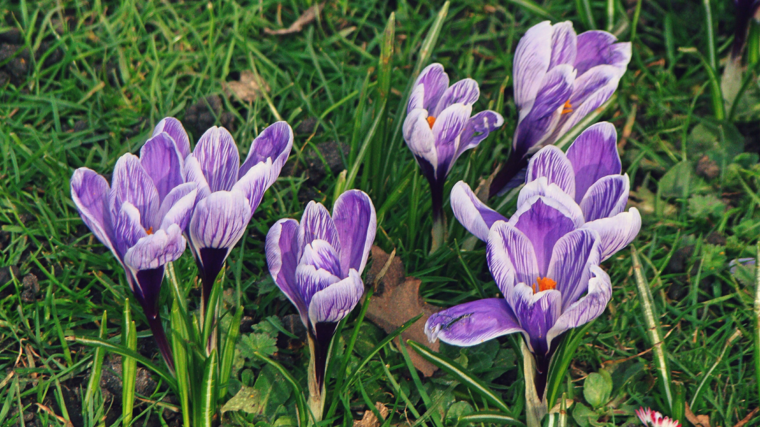 Stock images—2560×1440—Flowers—23—Crocuses—Purple and white