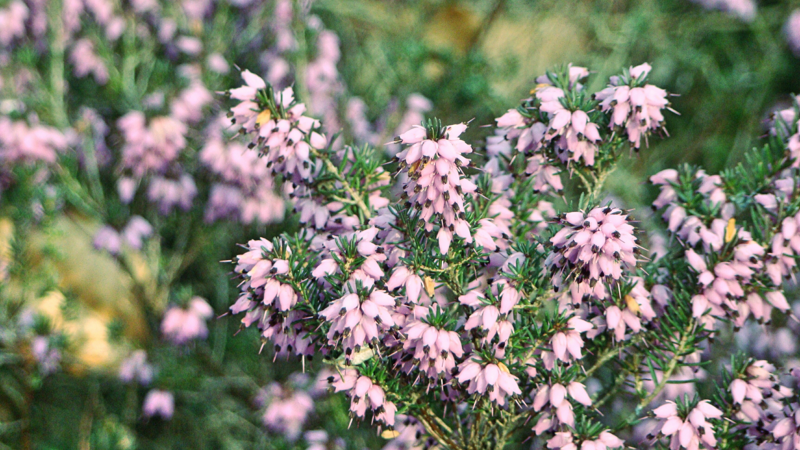 Stock images—2560×1440—Flowers—31—Heather