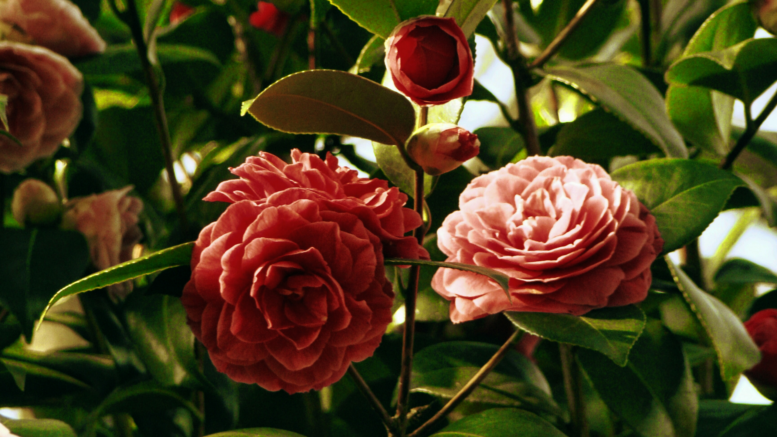 Stock images—2560×1440—Flowers—40—Camellia—Red—Formal double form