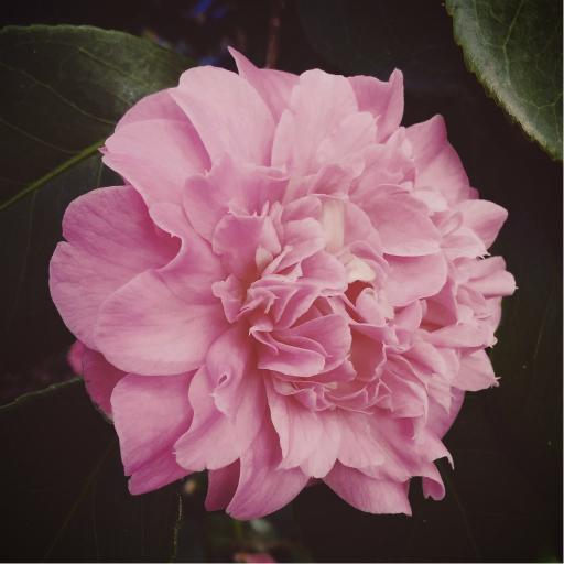 Stock images—512×512—Flowers—Camellia, Isabella Plantation, Richmond Park, London, 2 February 2016