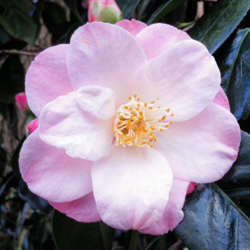 Stock images — 512 × 512 — Flowers — Camellia, Isabella Plantation, Richmond Park, London, 2 February 2016