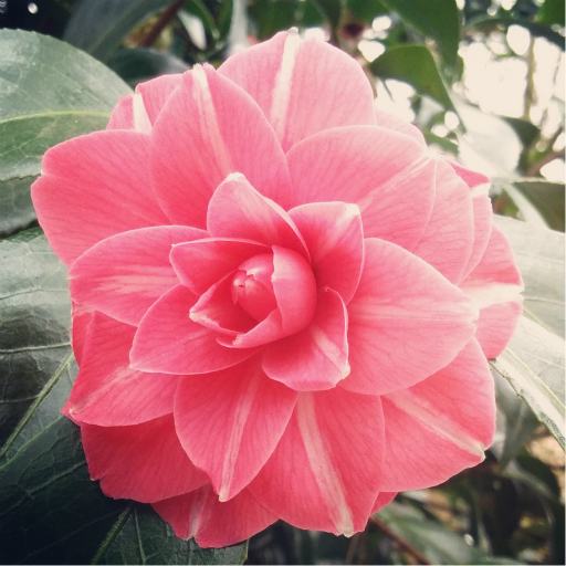 Stock images—512×512—Flowers—Camellia in the Isabella Plantation, Richmond Park, London—20 March 2016