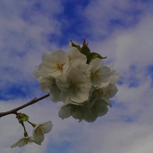 画像素材512✕512 花の写真 308 2016年4月13日撮影