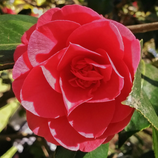 Stock images—512×512—Flowers—Camellia, Isabella Plantation, Richmond Park—1 May 2016