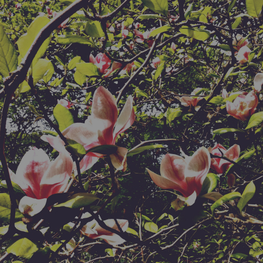 Stock images—512×512—Flowers—Saucer magnolia, Isabella Plantation, Richmond Park—7 May 2016