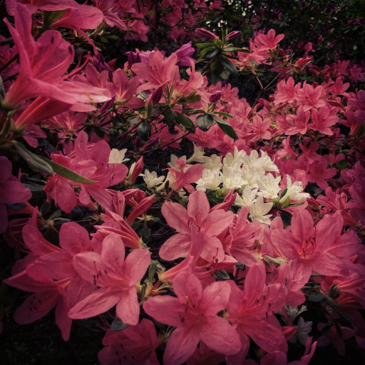 Stock images — 512 × 512 — Flowers — Pink and whtie azaleas, Isabella Plantation, Richmond Park — 7 May 2016