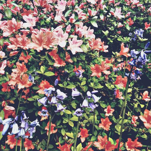 画像素材512✕512|花の写真|340|ロンドンのリッチモンド・パーク内にあるイザベラ・プランテーションで撮影した躑躅&ブルーベル|2016年5月7日撮影