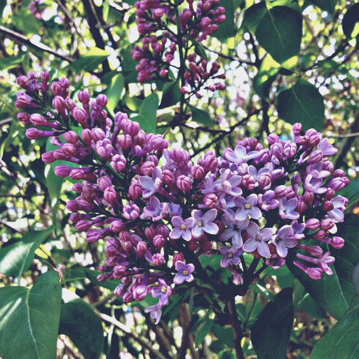 Stock images—512×512—Flowers—Lilac, London—5 May 2016