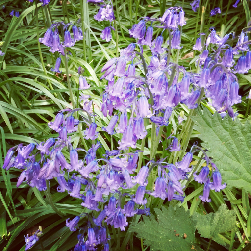 Stock images — 512 × 512 — Flowers — Bluebells, Isabella Plantation, Richmond Park, London — 7 May 2016