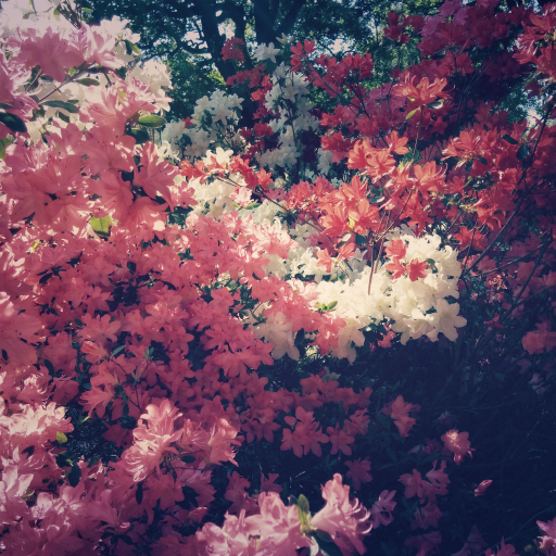 Stock images—512×512—Flowers—Red, white, purple, and dark pink azaleas, Isabella Plantation, Richmond Park, London—13 May 2016
