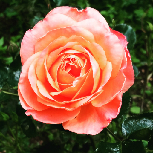 Stock images — 512 × 512 — Flowers — Rose, London — 5 June 2016