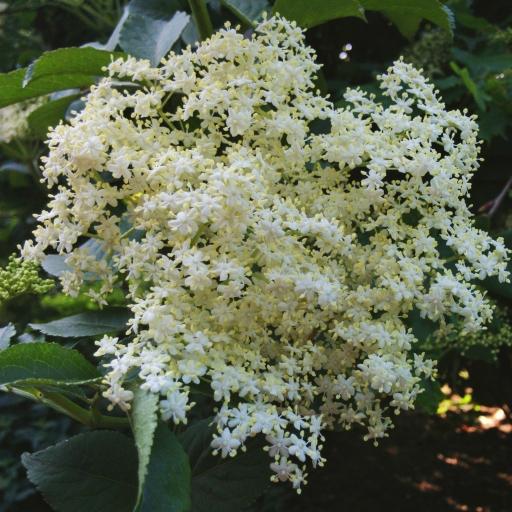 画像素材512✕512|花の写真|390|2017年5月25日撮影