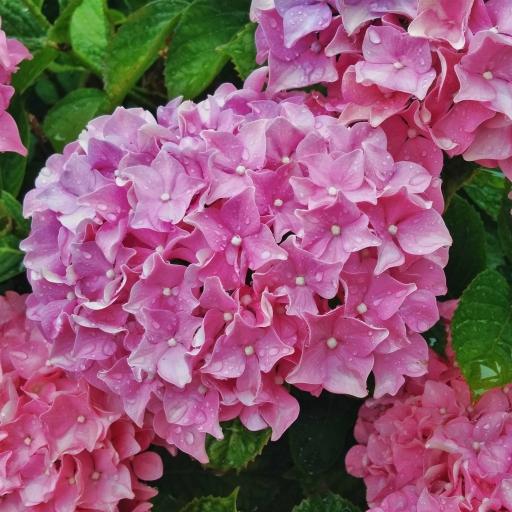 画像素材512✕512 花の写真 394 2017年6月27日撮影