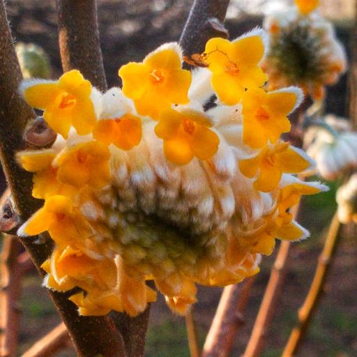 画像素材512✕512|花の写真|426|ロンドンのリッチモンド・パークの庭園「イザベラ・プランテーション」で撮影した三椏|2018年2月7日撮影