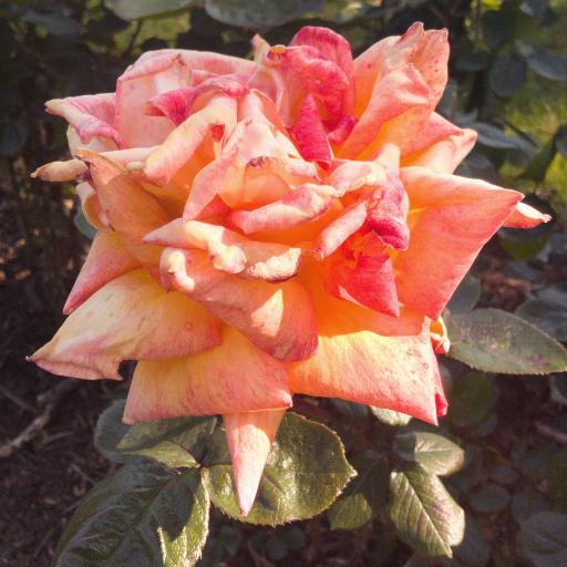 画像素材512✕512|花の写真|469|ロンドンのビショップス・パークで撮影したバラ|2019年5月14日撮影