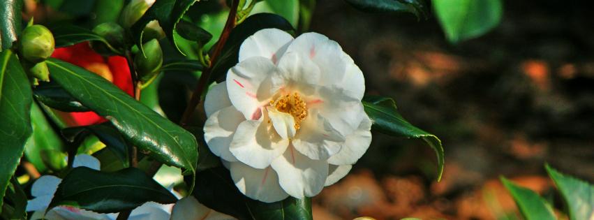 画像素材:851✕315(Facebookカバー写真):花の写真|398|椿