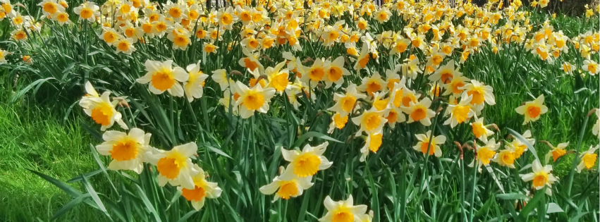 Stock images—Facebook cover photo (851×315)—Flowers—Daffodils, King George's Park, Wandsworth, London