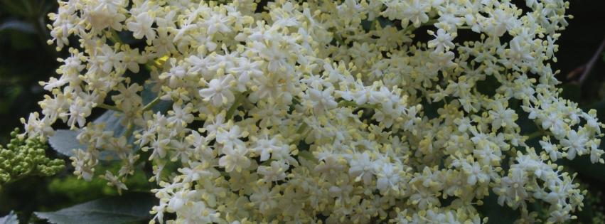 Stock images—Facebook cover photo (851×315)—Flowers—Elderflower, Wimbledon Common, London