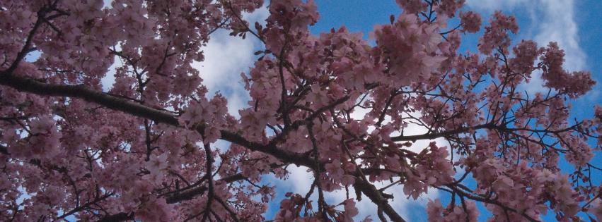 画像素材|851✕315(Facebookカバー写真)|花の写真|433|桜