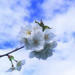 画像素材512✕512|花|307
