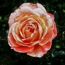 画像素材512✕512|花|371