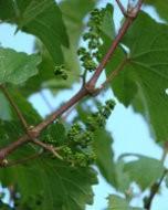 (Thumbnail) Grapes