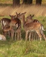 (Thumbnail) Deer in Richmond Par, 13 May 2013