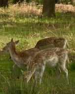 (Thumbnail) Deer in Richmond Par, 16 May 2013