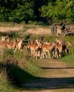 (Thumbnail) Deer in Richmond Par, 27 May 2013