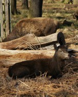 (Thumbnail) Red deer in Richmond Park, 15 March 2014