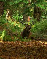 (Thumbnail) Red deer in Richmond Park, 5 October 2014