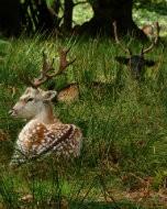 (Thumbnail) Fallow deer in Richmond Park, 5 October 2014