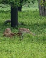 (Thumbnail) Fallow deer in Richmond Park, 17 May 2015
