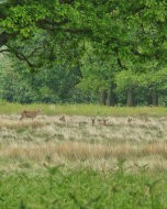 (Thumbnail) Red deer in Richmond Park, 17 May 2015