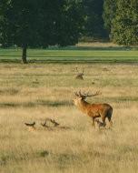 (Thumbnail) Deer in Richmond Park, 30 September 2015