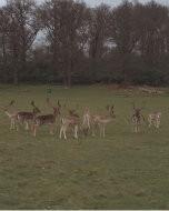 リッチモンド・パーク:鹿(2016年3月20日)