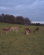 (Thumbnail) Deer in Richmond Park, 20 March 2016