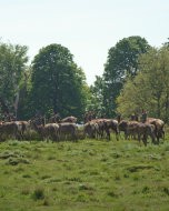 (Thumbnail) Deer in Richmond Park, 4 May 2016