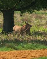 Deer in Richmond Park, 13 May 2016