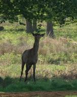 リッチモンド・パーク:鹿(2016年5月13日)