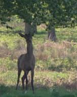 (Thumbnail) Deer in Richmond Park, 13 May 2016