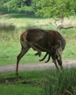 リッチモンド・パーク:鹿(2016年5月20日)